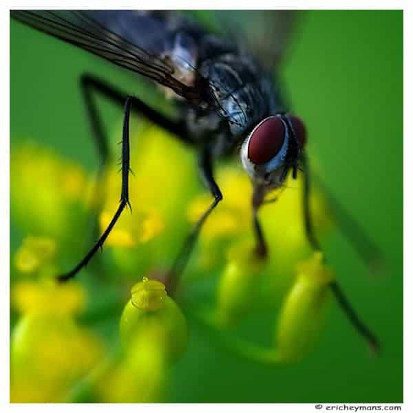 Photographie Macro - Moustique